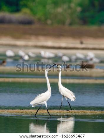The intermediate egret, median egret, smaller egret, or yellow-billed egret is a medium-sized heron.  #1626695467