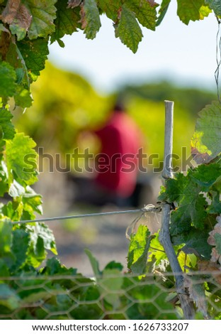 Unindefined man works on harvesting of ripe white grapes in Andalusia, Spain, sweet pedro ximenez or muscat, or palomino grape used for production of jerez, sherry sweet and dry wines #1626733207