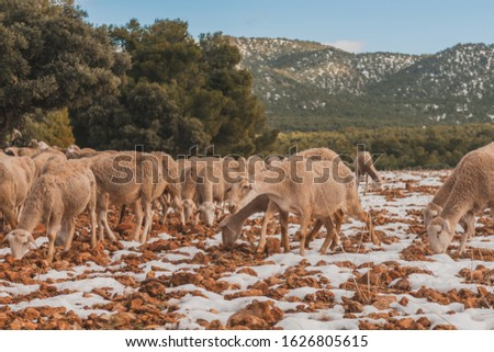 SHEEP IN SNOW LANDSCAPE IN MOUNT #1626805615