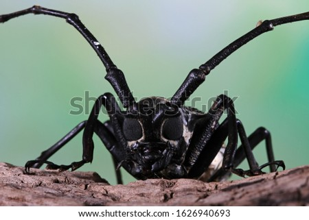 Asian Longhorn beetle closeup face on branch, Asian longhorn beetle closeup, closeup face insect #1626940693