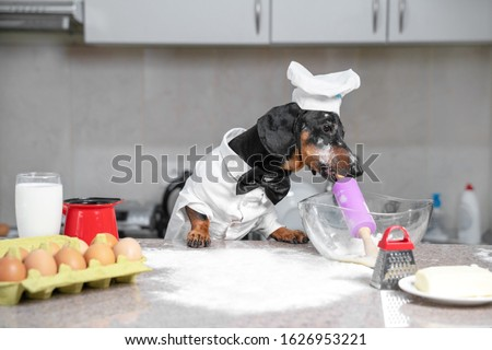 Black and tan dachshund baker wearing white chef hat and robe in the kitchen, in cooking process. Holds dough roll in the mouth, ingredients on the table. Indoors, funny picture.