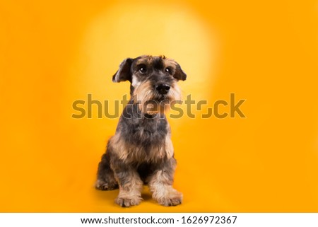 Adorable schnauzer dog sitting isolated in yellow background #1626972367
