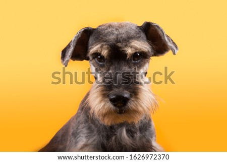 Dog schnauzer looking at camera, isolated in yellow background #1626972370