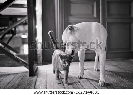 Friendly cat and Pitbull dog in the home interior. Black and white picture. Animal friendship.