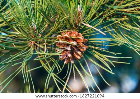 Pine cone on a branch of a large conifer in the light of dawn in the mountains. Brown conifer in the foliage of green conifer needles. Nature. Relax #1627221094
