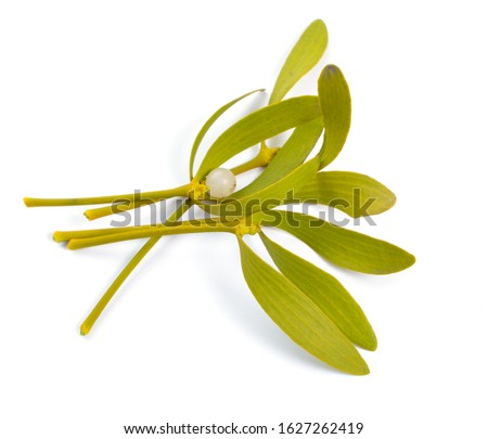 Viscum album, commonly known as European mistletoe, common mistletoe or simply as mistletoe, mistle. Isolated on white background.