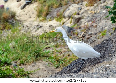 Great Egret (Ardea alba) - also known as the common egret, large egret, great white heron. Great egret walking down the hill #1627277158