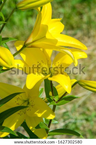Lilium is a genus of herbaceous flowering plants growing from bulbs, all with large prominent flowers. Lilies are a group of flowering plants which are important in culture  in much of the world. #1627302580