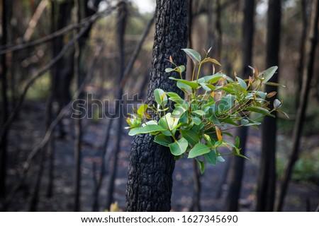 Bushfire regrowth from burnt bush in Australia #1627345690