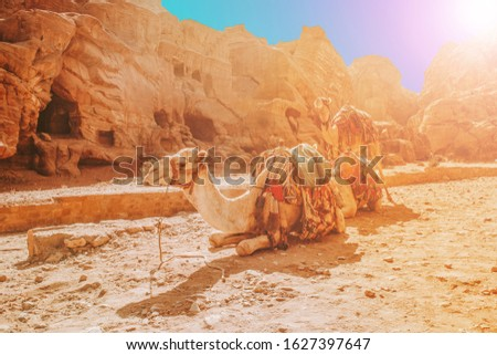 Sunlight passes through the mountains and rocks, falling on tired camels who make huge routes through the Sands of exhausting deserts.One lay down to rest the rest lie on the ground.Camels help people #1627397647