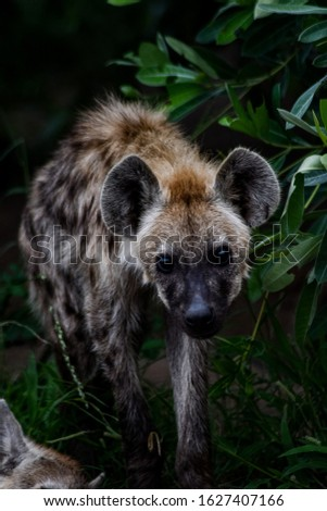 baby hyena, this picture was taken in south África in the kruger park