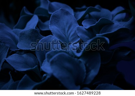 Japanese cheesewood flowers in classic pantone blue color.Beautiful exotic flower in the dark.Pantone blue color toning on floral background.Decortaive wallpaper with garden plants for texture print