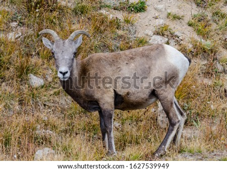 A bighorn sheep grazing near the top of Mount Evans in Colorado #1627539949