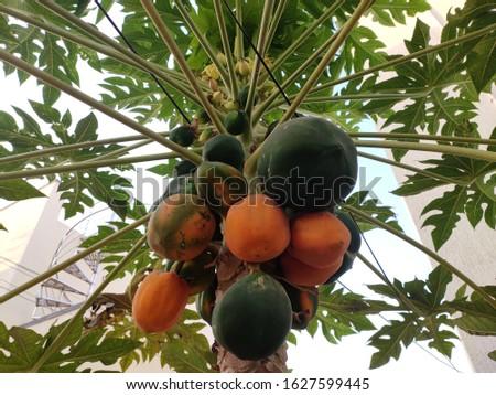 Riped and un riped papayas on tree. #1627599445