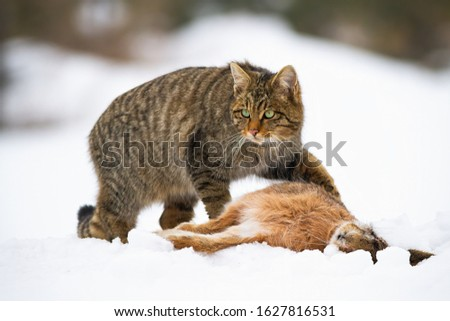 European wildcat, felis silvestris, with a kill of dead rabbit on snow in wintertime. Fierce mammal predator in nature hunting. Side view of wild animal guarding prey. Royalty-Free Stock Photo #1627816531