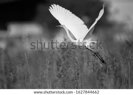 Great Egret egret takeoff at Asker marsh, Bahrain #1627844662