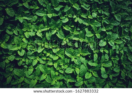 Green peppermint leaves background. Mentha piperita Lamiaceae. Floral spring and summer botany garden. #1627883332