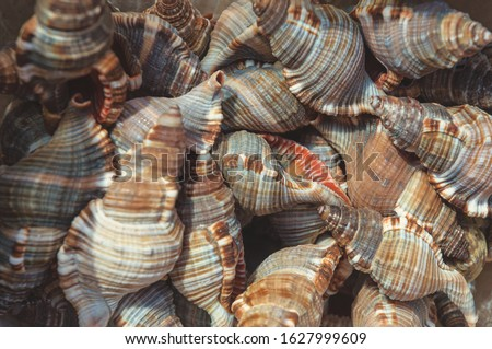 Sea mollusks close-up. Background from exotic shells. Concept group of sea shells. Seashells background. Top view close up of mollusk.Texture of shells top view.  Royalty-Free Stock Photo #1627999609