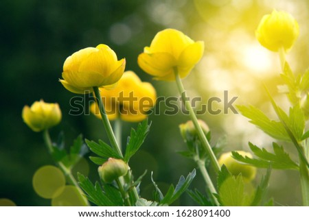 Yellow flowers of a globeflower at a forest edge in the sun