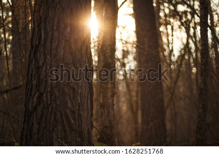 The sunlight between the trunks of the trees at sunset in the woods. Evening sun rays from behind a thick tree trunk, tree bark close-up #1628251768