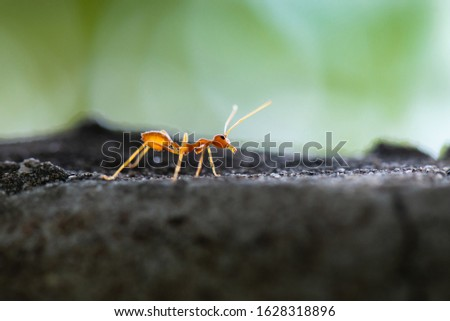 Orange ant on a dark grey stone in the garden. It was stopped before continuing.