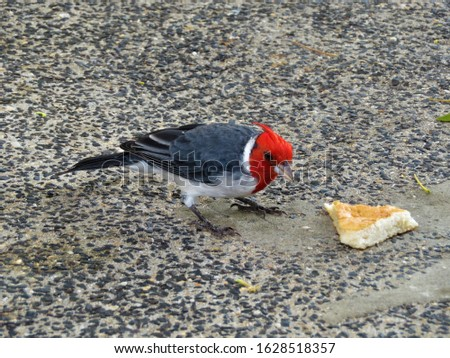 Cute little red-crested cardinal eating a piece of bread. Picture was taken on Hawaii.