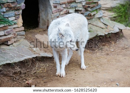 The tundra wolf. The tundra wolf's range occupies the tundra zone of Russia.
