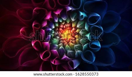 Colorful chrysanthemum flower macro shot. Chrysanthemum rainbow flower background. Royalty-Free Stock Photo #1628550373
