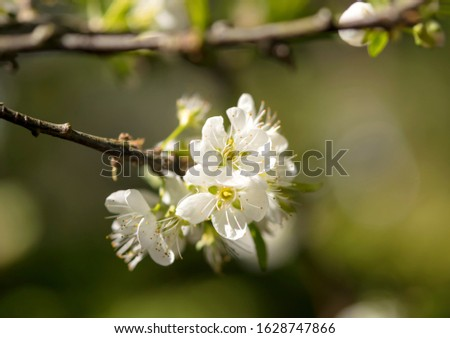 Close-up of white pear blossom, plum blossom, peach blossom with blurred background #1628747866
