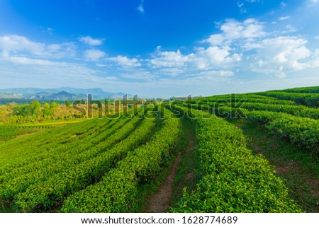 The tea plantations background , Tea plantations in morning light #1628774689