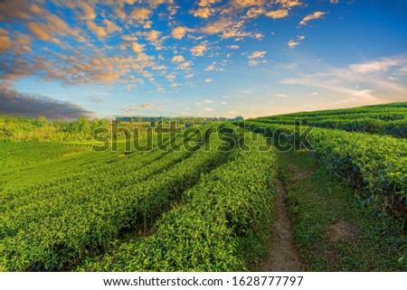 The tea plantations background , Tea plantations in morning light #1628777797