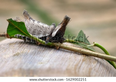 Animal world. An exotic Stinging caterpillars found in the midwest region of Brazil eating the stem of a plant. Species Podalia sp. from Family Megalopygidae. Animal world. Dangerous insect. #1629002251
