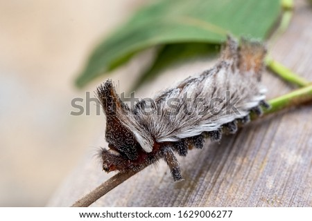 An exotic Stinging caterpillars found in the midwest region of Brazil. Species Podalia sp. from Family Megalopygidae. Animal world. Stunning nature. Dangerous insect.  #1629006277