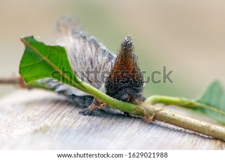 An exotic Stinging caterpillars found in the midwest region of Brazil eating the stem of a plant. Species Podalia sp. from Family Megalopygidae. Animal world. Stunning nature. Dangerous insect. #1629021988