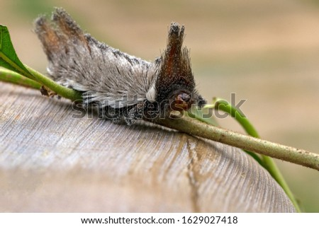 Dangerous insect. An exotic Stinging caterpillars found in the midwest region of Brazil eating the stem of a plant. Species Podalia sp. from Family Megalopygidae. Animal world. Stunning nature.  #1629027418