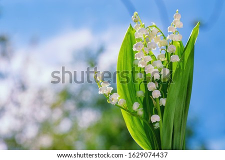 Flower Spring Lily of the Valley Background Horizontal. Natural nature background with blooming beautiful flowers lilies of the valley lilies-of-the-valley. Lily of the valley.  #1629074437