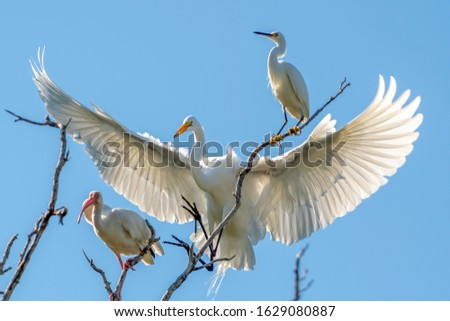 Snowy egret, great egret and ibis all perched on a tree #1629080887