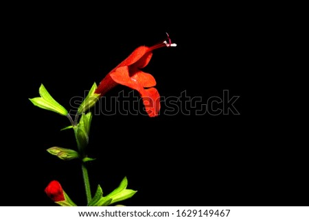 Photo of Salvia coccinea on a black background. Some common names for this Lamiaceae are: Scarlet sage, blood sage and tropical sage.  #1629149467