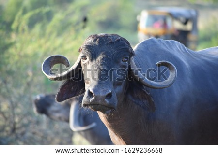 Punjab, India-In this picture there is buffalo. Called as murrah Buffalo.