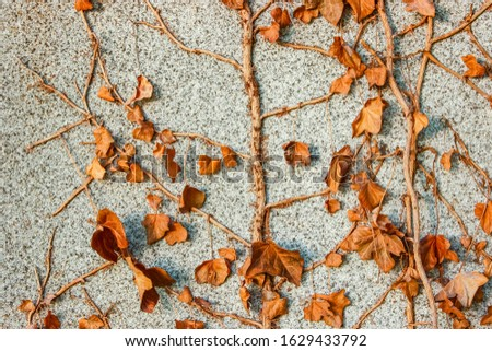 Concrete wall texture with some dry ivy  background pattern