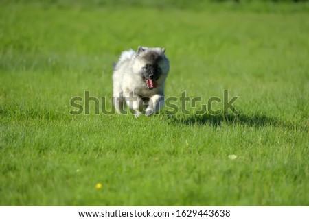keeshond wolfspitz puppy running on green grass #1629443638