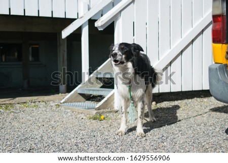 A domestic black and white dog standing in front of its kennel