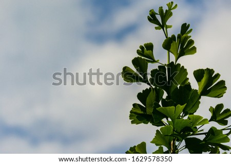 Young growing green leaves of ginkgo tree (Ginkgo biloba), known as ginkgo or ginkgo on blue sky background. Nature concept for design. There is place for text. #1629578350