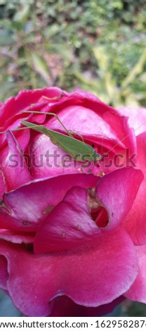this picture shows a locust meditating above a rose taken by me . it didn't move at all so I had a chance to take my time and make it better as much as i can also editing the brightness and  colors.