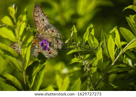 The butterfly is resting on the green plant. beautiful  Gossamer winged butterfly picture