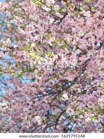 Blooming tree, springtime, cherry blossom, almond blossom #1629795148