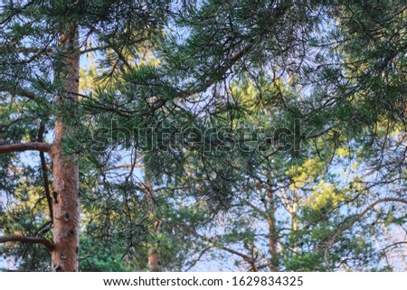 Beautiful pine forest pine park with pines, firs and birches in a sunny day with hard shadows and sunlight, lots of green trees #1629834325