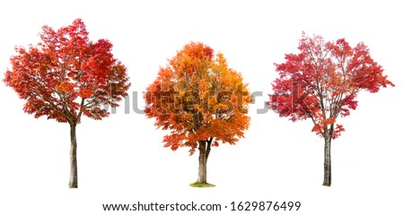 Isolated red Japanese maple tree on white background. #1629876499