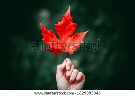 maple leaf holding in hand focus nature  Royalty-Free Stock Photo #1629883846