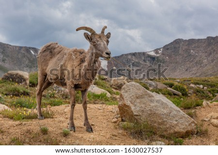 Female bighorn sheep at Mount Evans  #1630027537